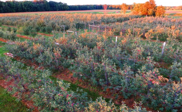Rock Ridge Orchard - Apples on trees
